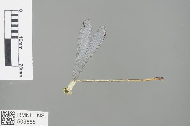 Image of <i>Teinobasis cryptica</i> Dow 2010