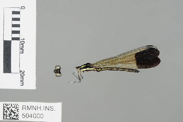Image of <i>Sundacypha petiolata</i> (Selys 1859)