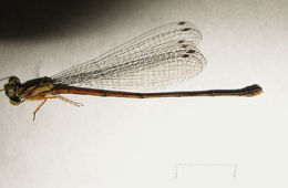 Image of <i>Coenagriocnemis rufipes</i> (Rambur 1842)