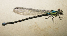 Image of <i>Coenagriocnemis insularis</i>