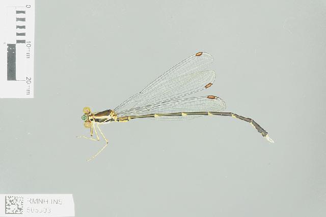 Image of <i>Episynlestes albicauda</i>