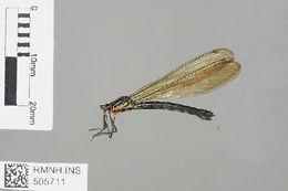 Image of <i>Heliocypha fenestrata cornelli</i>