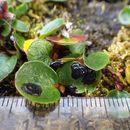 Image of Rhytismataceae