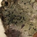 Image of lecidella lichen