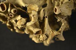 Image of Ruffle lichens