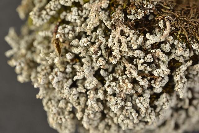 Image of snow lichen