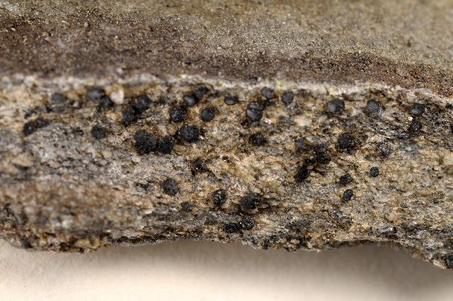 Image of farnoldia lichen