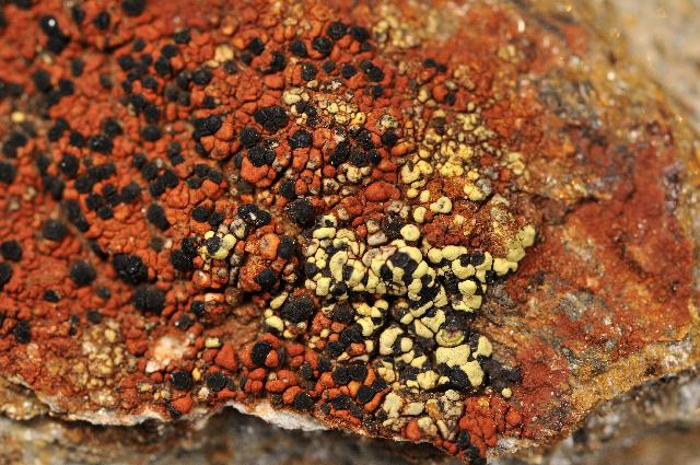 Image of map lichen