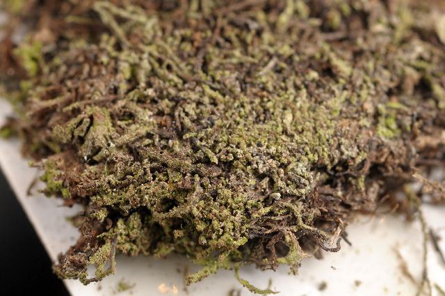 Image of psilolechia lichen