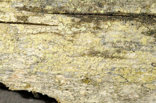 Image of Tephromelataceae