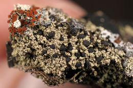 Image of mycobilimbia lichen