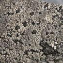 Image of fuscidea lichen