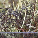 Image of bryocaulon lichen