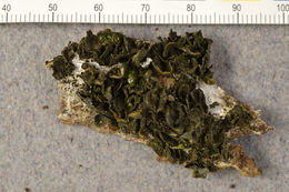 Image of Jelly lichens