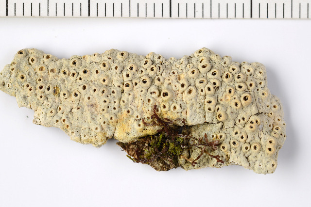 Image of barnacle lichen