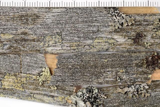 Image of disc lichen