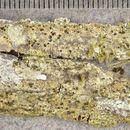 Image of schismatomma lichen