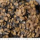 Image of Placidium