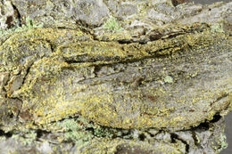 Image of Dust lichens