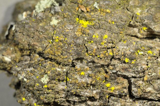 Image of Firedot lichens