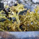 Image of Cetrariella