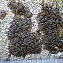 Image of protoparmelia lichen