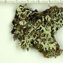 Image of hypotrachyna lichen
