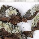 Image of imshaugia lichen