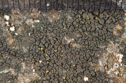 Image of blackthread lichen