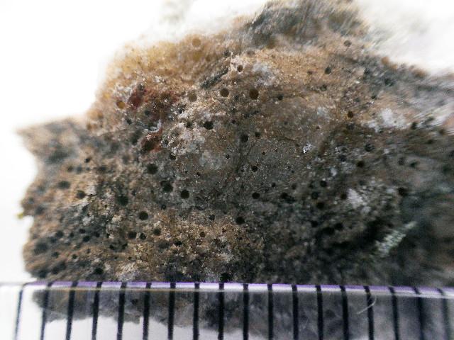 Image of polyblastia lichen