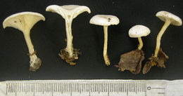 Image of <i>Clitocybe dealbata</i> (Sowerby) Gillet 1874