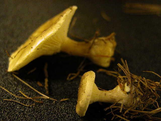 Image of <i>Clitocybe clavipes</i>