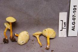Image of <i>Hygrocybe ceracea</i> (Sowerby) P. Kumm. 1871