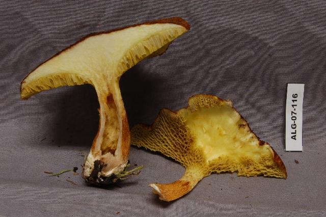 Image of <i>Suillus cavipes</i> (Klotzsch) A. H. Sm. & Thiers 1964
