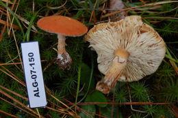 Image of <i>Cystoderma granulosum</i>