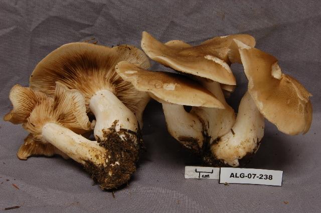 Image of <i>Lyophyllum decastes</i> (Fr.) Singer 1951