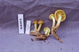 Image of slender pholiota