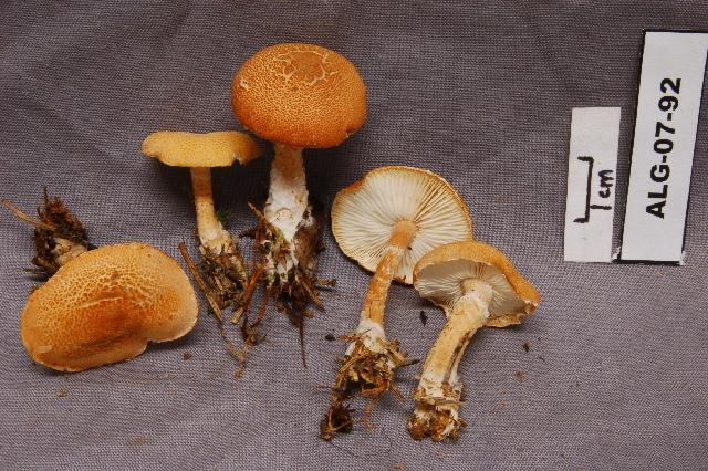 Image of Cystoderma