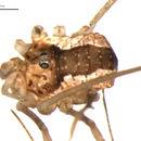 Image of <i>Lophopilio palpinalis</i>