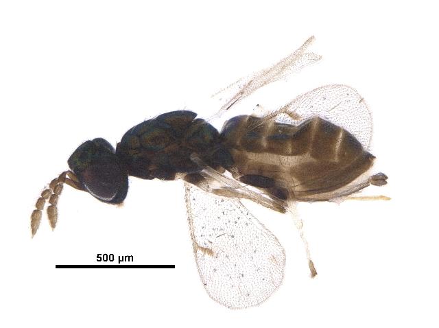 Image of <i>Neochrysocharis formosus</i>