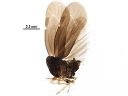 Image of Cedusa