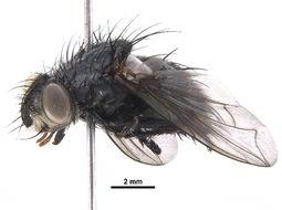 Image of <i>Panzeria platycarina</i> (Tothill 1921)