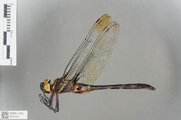 Image of <i>Epophthalmia vittigera</i> (Rambur 1842)