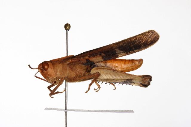 Image of Chortophaga