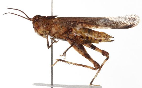 Image of Longhorn Band-wing Grasshopper