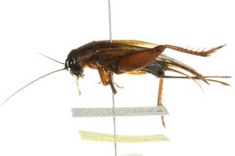 Image of Spring Field Cricket
