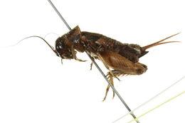 Image of Southeastern Field Cricket