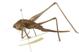 Слика од <i>Idiostatus aequalis</i> (Scudder & S. H. 1899)