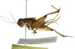 Image of <i>Miogryllus saussurei</i>