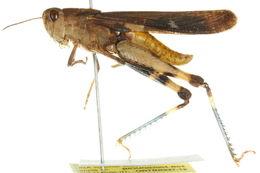 Image of <i>Chortophaga australior</i> Rehn, J. A. G. & Hebard 1911
